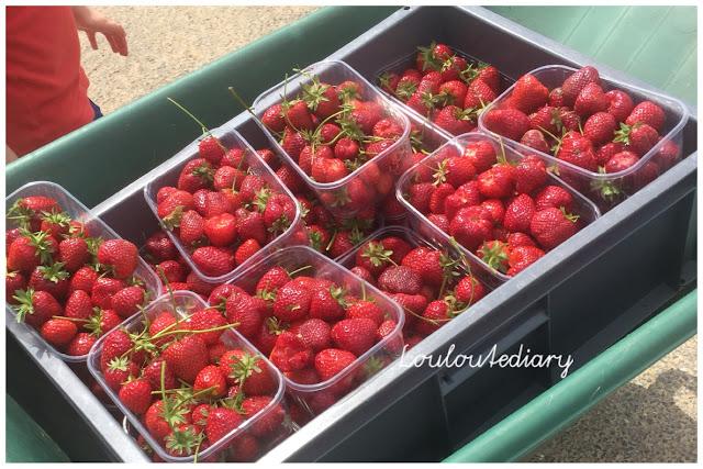 cueillette des fraises à la cueillette de cergy à puiseux-pontoise