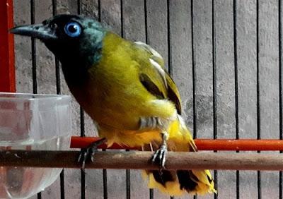 Burung Kutilang Sutra