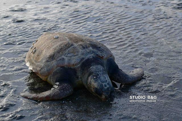 Νεκρή θαλάσσια χελώνα σε παραλία της Αργολίδας