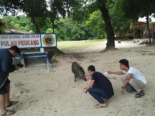 Homestay di Pulau Peucang Dengan Hewan Liar