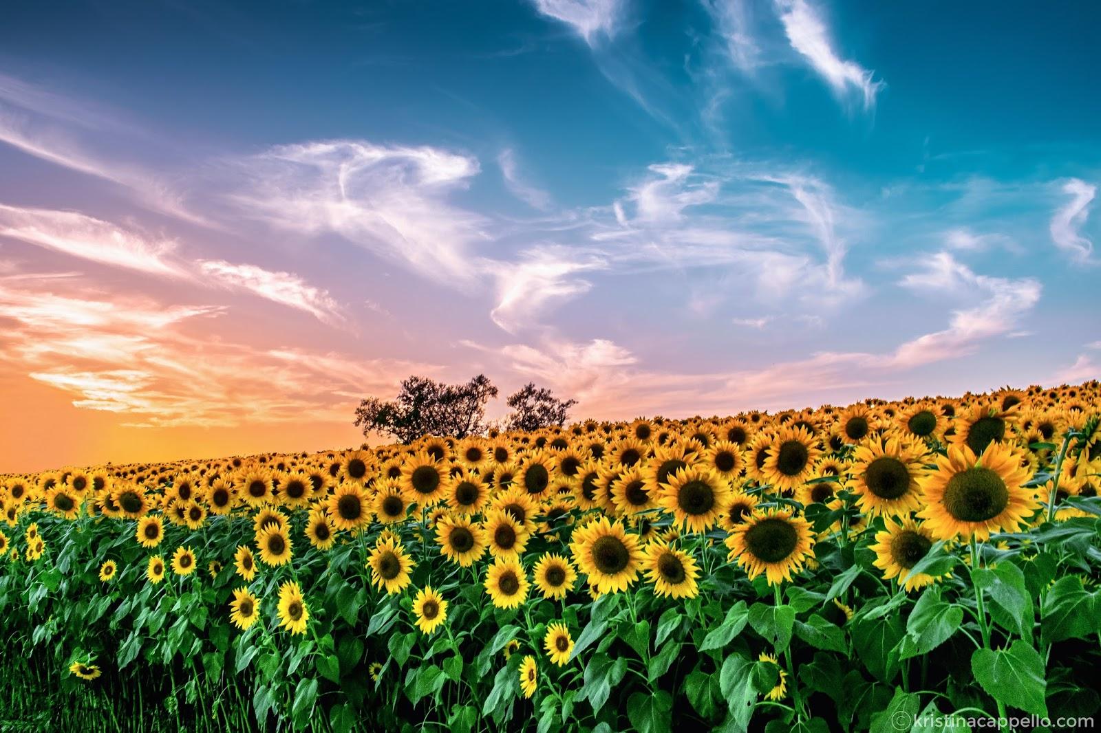 sunflower fields 2 by - photo #16