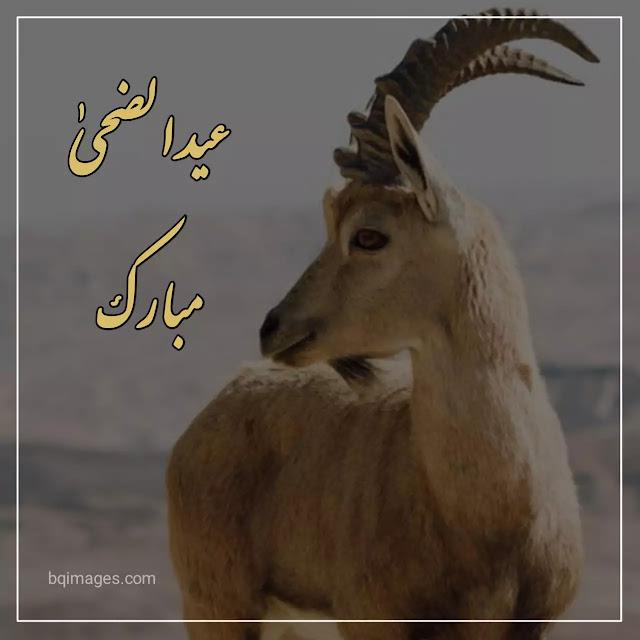 eid ul adha whatsapp dp