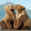 The Brown Bear Cub lessons after hibernation