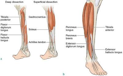 Anatomi peroneus brevis pada tubuh manusia. Bahasan anatomi origo peroneus brevis, insersi peroneus brevis, aksi, persarafan, arteri dari otot peroneus brevis.