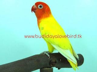 Perbedaan Lovebird Pastel Kuning Dan Lutino