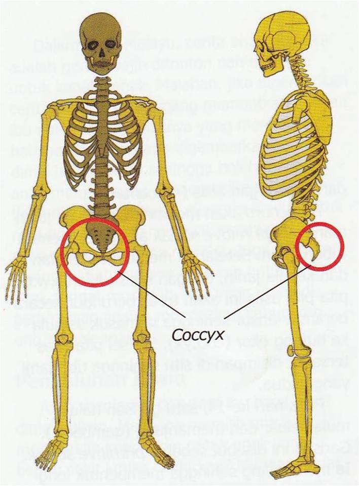 Keajaiban Penciptaan Tulang Ekor/Tulang Sulbi Manusia