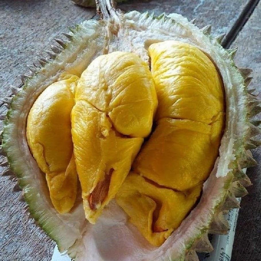 BIBIT DURIAN MUSANGKING kaki 3 okulasi super cepat berbuah bisa tabulampot Maluku Utara