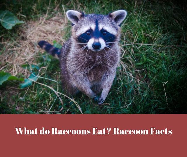 Raccoon sitting in garden