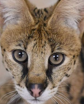 Serval Cat vs Savannah Cat Personality, Size, Lifespan, Price