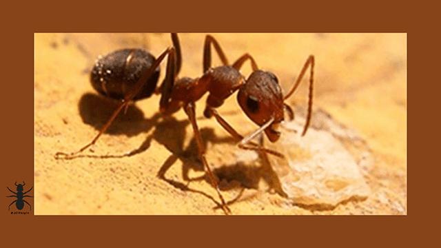 ✅caracteristicas especies de hormigas-ants