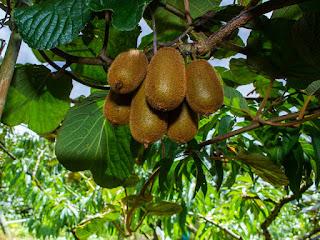 cara-menanam-biji-kiwi.jpg