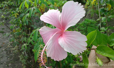 Gambar bunga sepatu pink