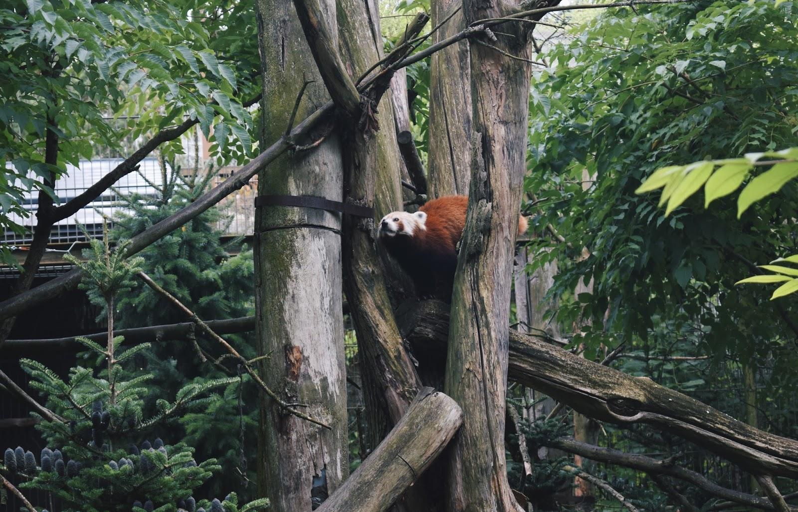 korkeasaari pikkupanda eläintarha kotimaanmatkailu matkailu matkustaminen helsinki suomi