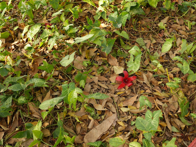 Red silk-cotton (Bombax ceiba, kapot) flower on the ground
