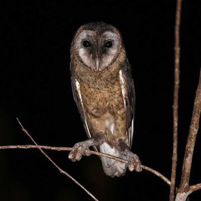 Serak Taliabu Burung Hantu Terancam Punah