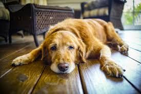 tratamento de cães com idade