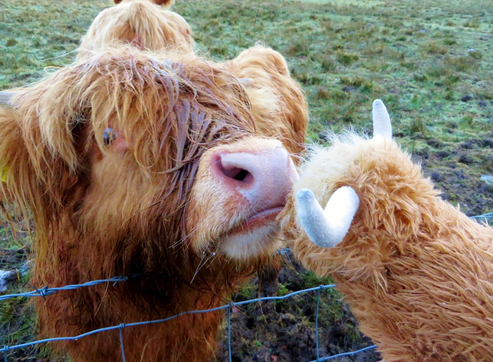 Highland cow, Hairy Coo, Hairy Coo Tour, orange cow, hairy cow