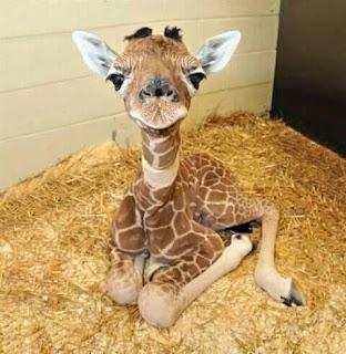 Foto jirafa pequeña