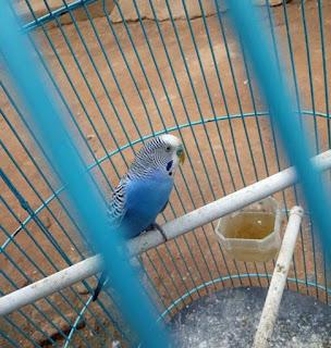 menjadikan burung parkit sebagai burung masteran yang handal