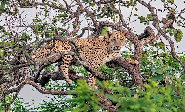 الفهد الهندي