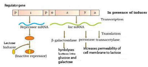 a gene encodes enzyme transacetylase