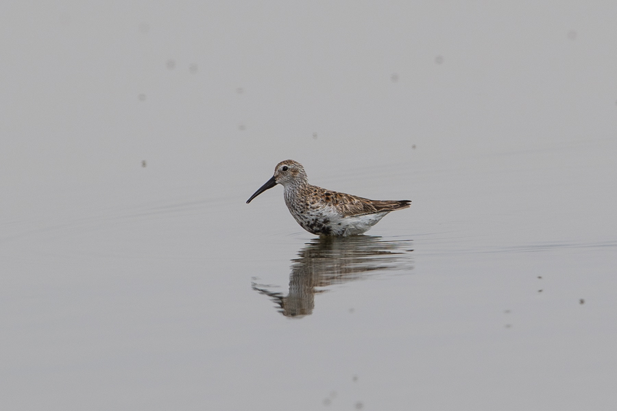 Dunlin in breeding plumage – Jubail