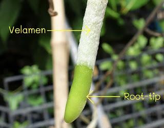 Velamen pada akar