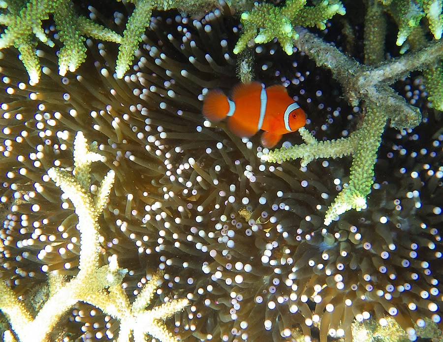 Clown fish in Tenau beach