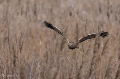 Arpella (Circus aeruginosus) en vol