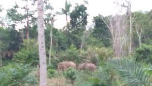 Puluhan Hektar Kebun Warga di Sungai Bengkal Dirusak Gerombolan Gajah