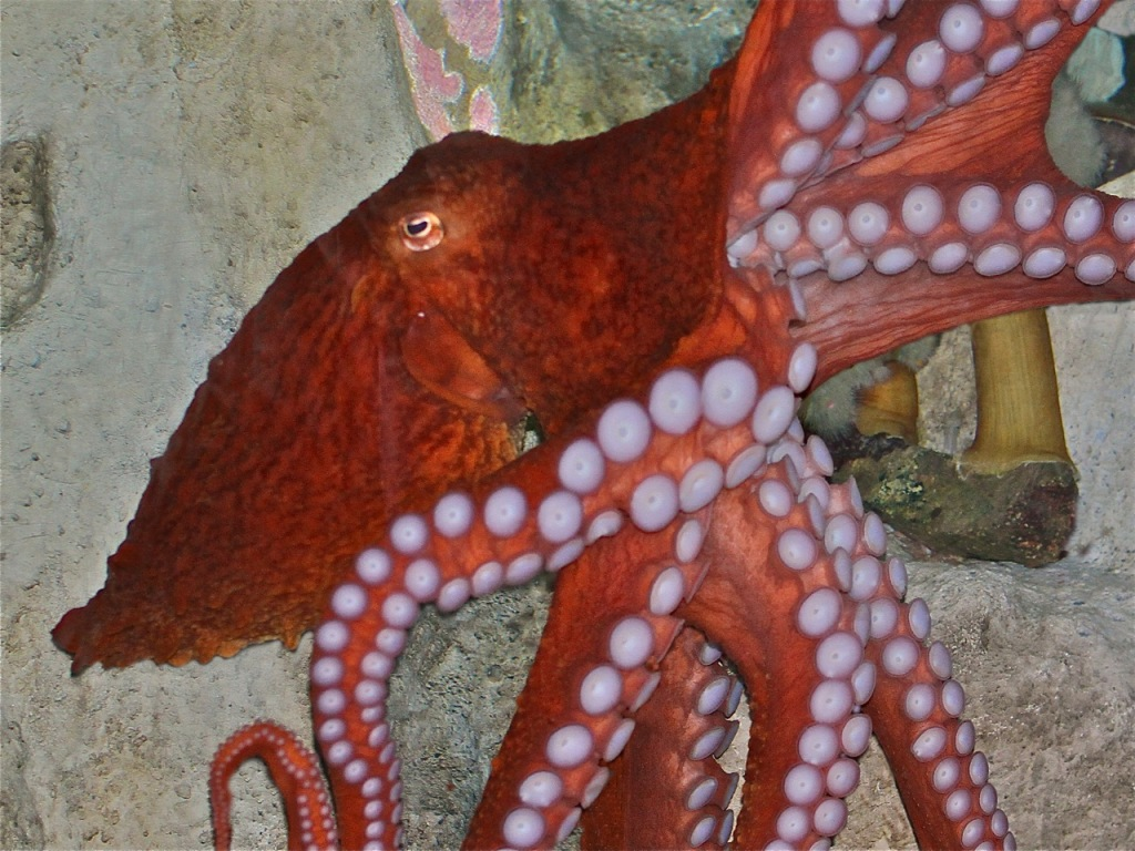 Animals Of The World Giant Pacific Octopus