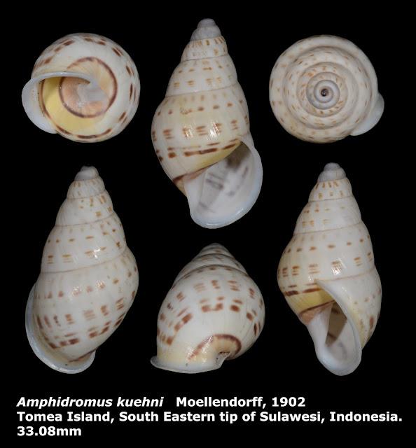 Amphidromus kuehni 33.08mm