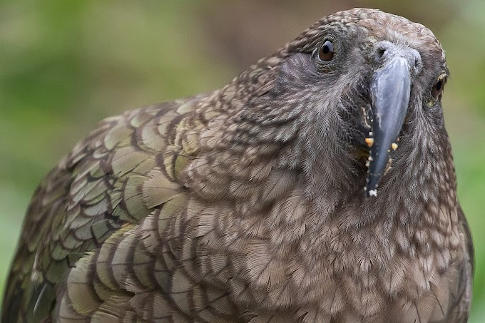 Meglepő dolog derült ki a világ egyik legintelligensebb madárfajáról