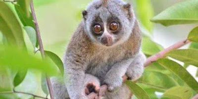 One of the LORISES