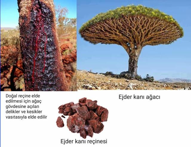Dracaena cinnabari ağacı (ejder kanı ağacı)