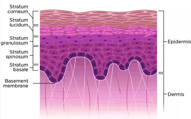 The epidermis of thick skin consists of five layers of cells (keratinocytes): stratum basale (proliferative layer), stratum spinosum (characterized by tonofibrils and associated desmosomes), stratum granulosum (characterized by keratohyalin granules), stratum lucidum (a translucent layer not obvious in thin skin), and stratum corneum (characterized by dead and dying cells with compacted keratin). Specialized structures of the skin include hair follicles (found only in thin skin), nails, and sweat glands and ducts.