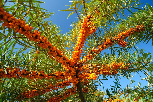 Ιπποφαές-Hippophae L-Sea Buckthorn
