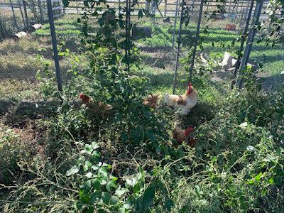 Chickens on a solar sharing farm in Tsukuba, Japan.