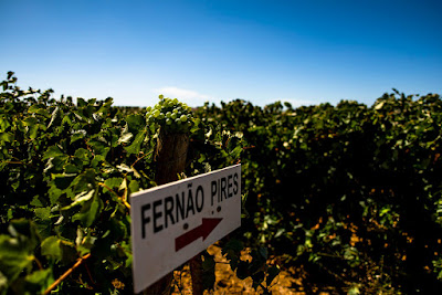 Plantacja winorośli, winnica