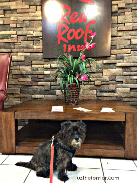 Oz the Terrier stays at always pet-friendly Red Roof Inn