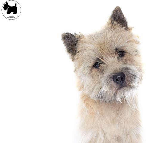 Cutest Dog Breeds, Best Dog, Cairn Terrier Dog