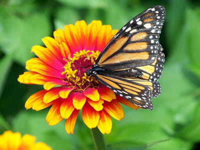 Photo of Monarch Butterfly on Zinnia