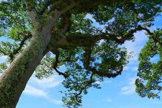 Guapinol Tree and blue sky