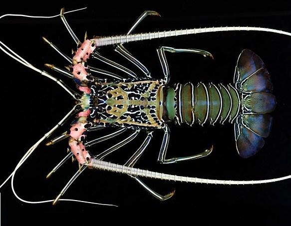 Panulirus Versicolor - Mengenal Lobster Air Laut Dan Cara Budidayanya