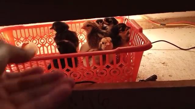 Perawatan Ayam Baru Menetas