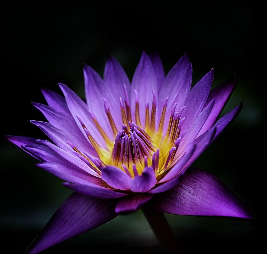 Gambar bunga teratai
