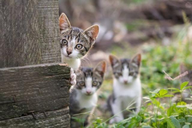 Ciri Ciri Kucing Betina dan Jantan Birahi