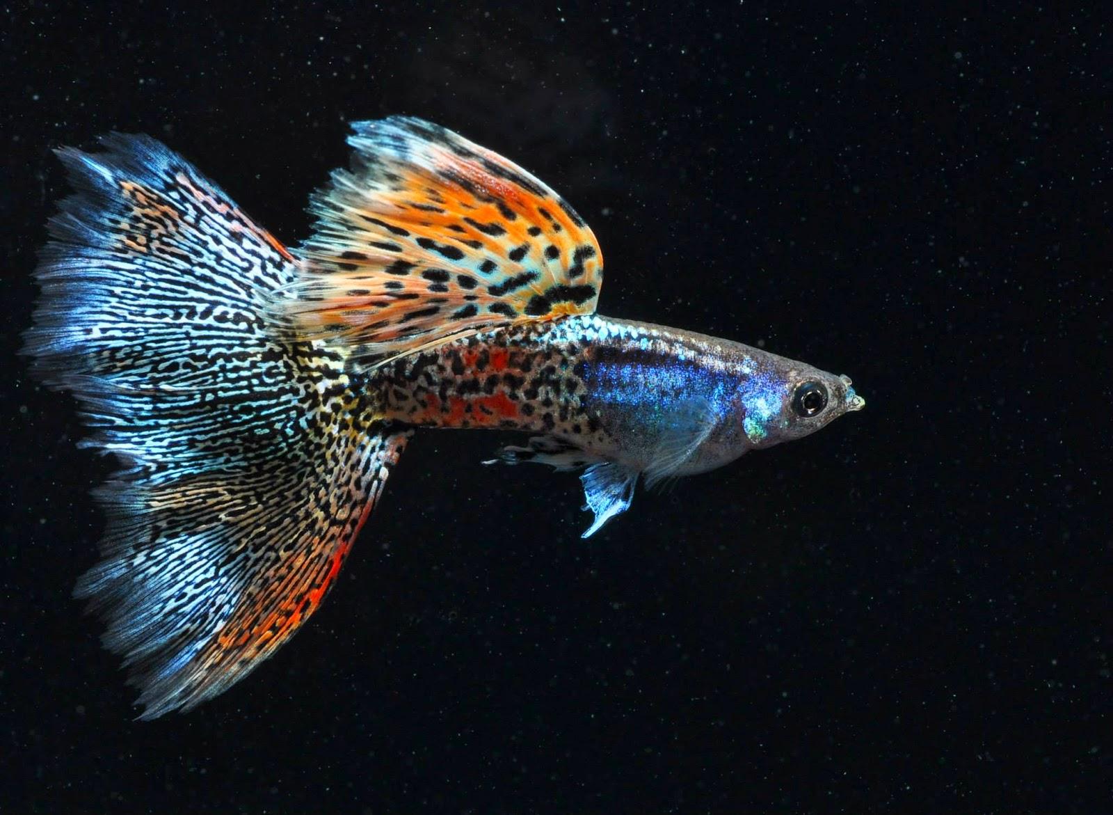 Cara Menghasilkan Ikan Guppy Berkualitas Aquaama