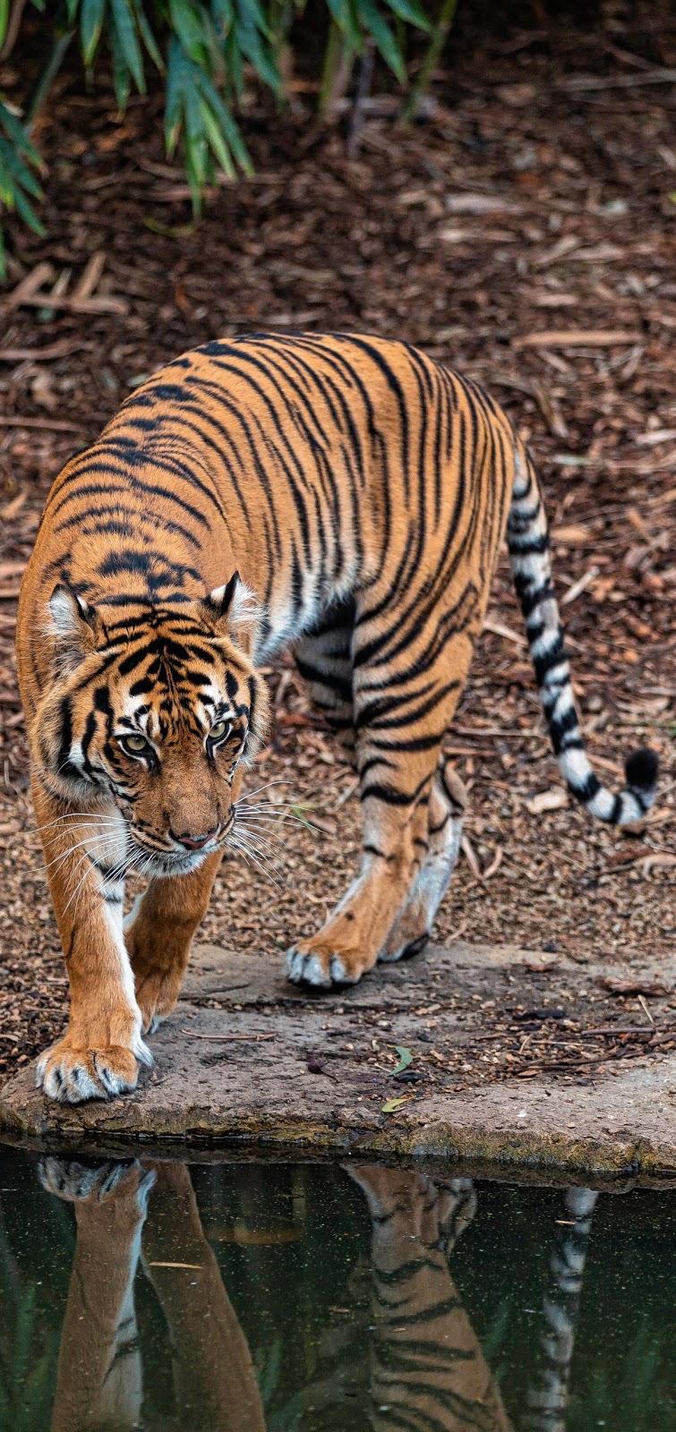 A pompous tiger.