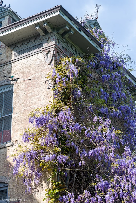 Portland, Maine USA June 2019 photo by Corey Templeton. Wisteria (I think?) growing strong in the West End.